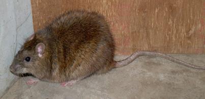 クマネズミの画像 p1_29