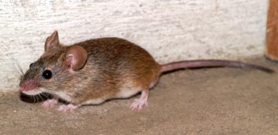ハツカネズミの画像 p1_12